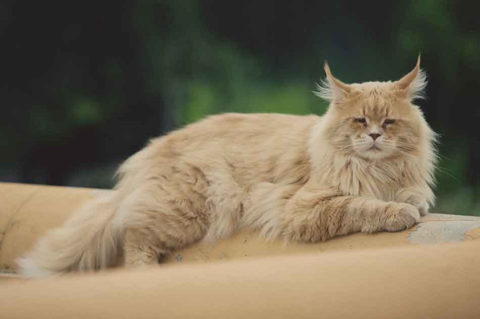 a ginger maine coon on a couch