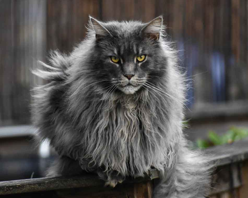 a smoke maine coon with large mane