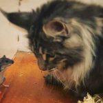Will An Indoor Maine Coon Still Kill Mice?