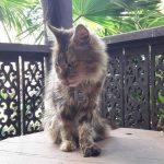 Do Maine Coons Purr? (Reasons And Causes)