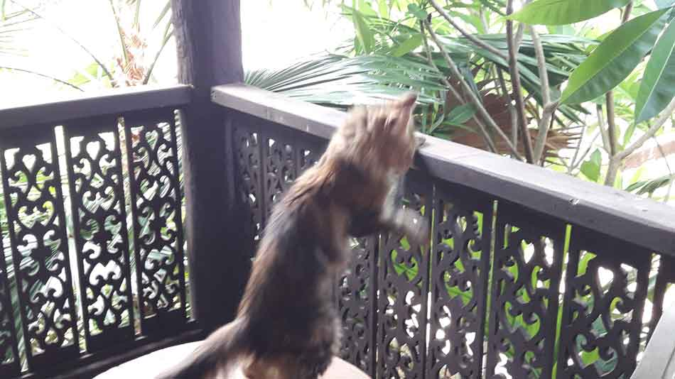 alita the maine coon jumping onto a balustrade