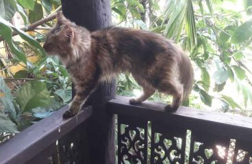 Will A Maine Coon Jump Off A Balcony?