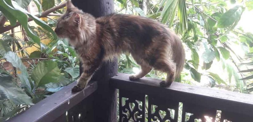 alita the maine coon on a balustrade