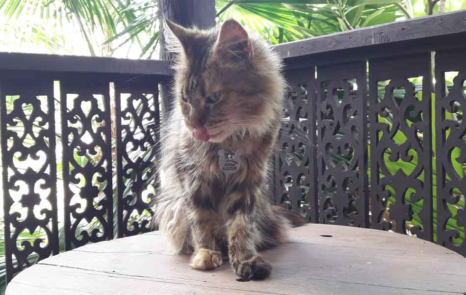 maine coon on the balcony