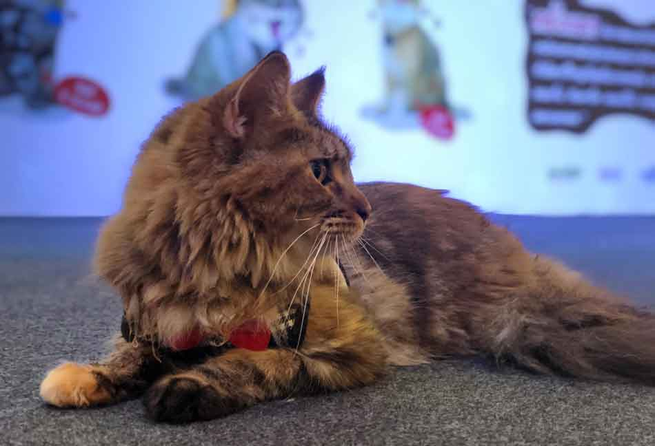 alita the maine coon at cat lover 2019
