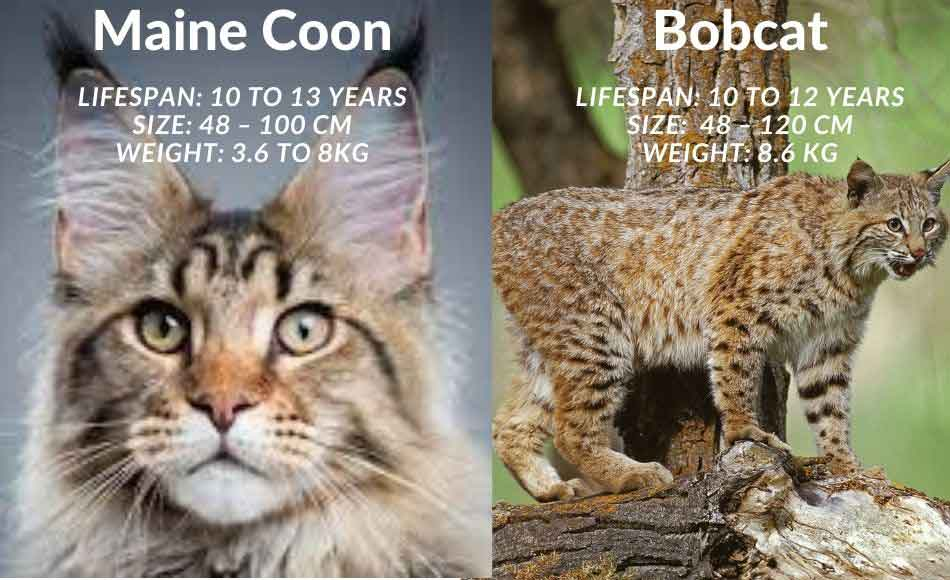 a bobcat and maine coon comparison - lifespan, size, and weight