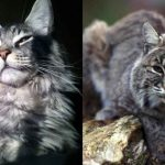Maine Coon vs Bobcats - The Differences And Similarities