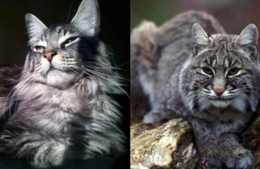 Maine Coon vs Bobcats – The Differences And Similarities
