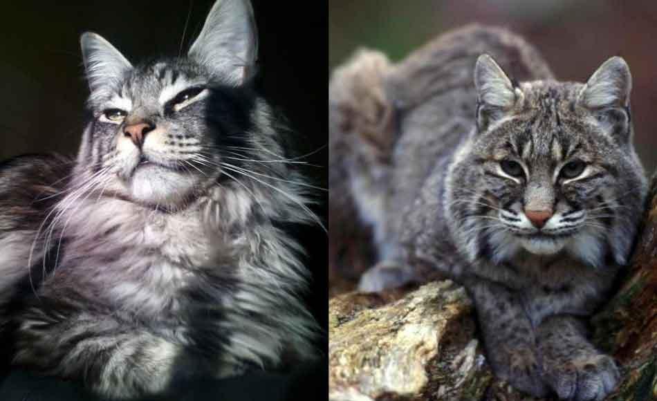 a bobcat and maine coon comparison