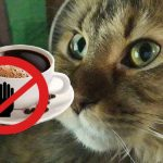 Can Maine Coon Cats Drink Coffee - Is It Dangerous For Them?