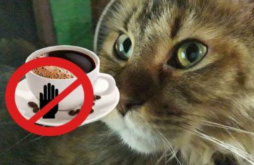 Can Maine Coon Cats Drink Coffee – Is It Dangerous For Them?