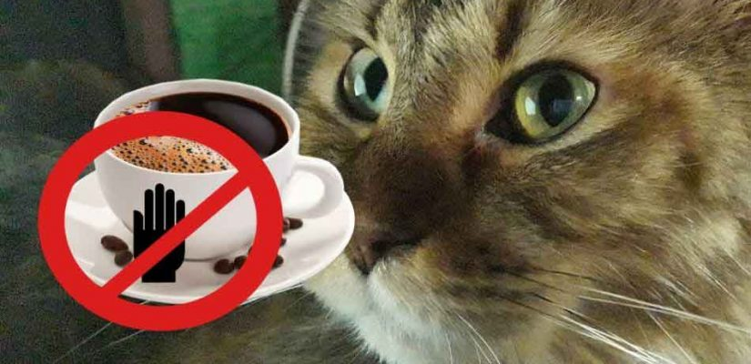 alita the maine coon with a cup of coffee