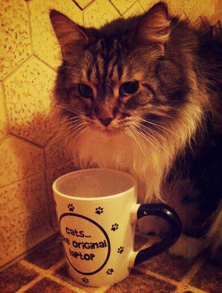 a maine coon next to a coffee mug