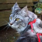Do Indoor Maine Coons Need Collars? (Main Reasons Explained)