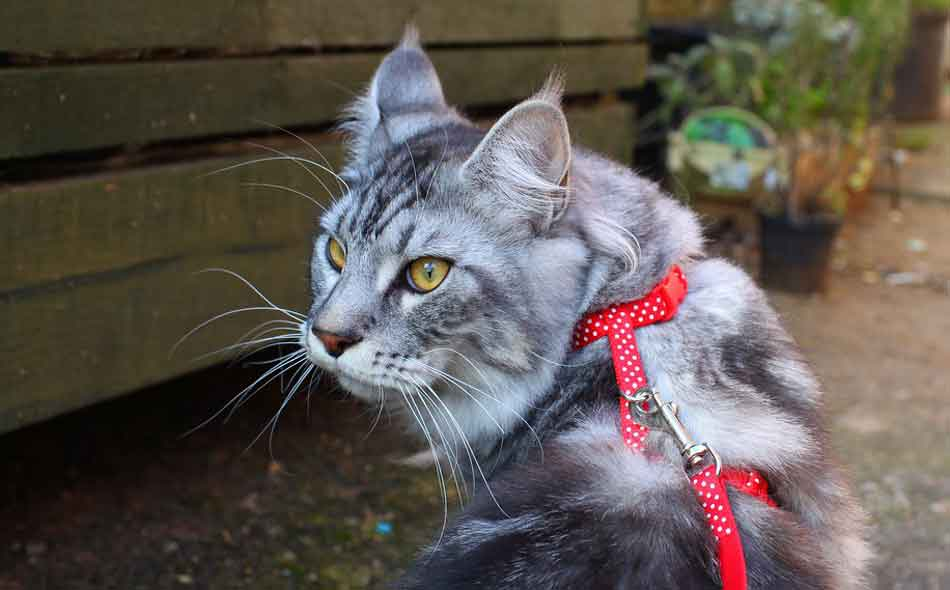 a Maine Coon with a walking collar