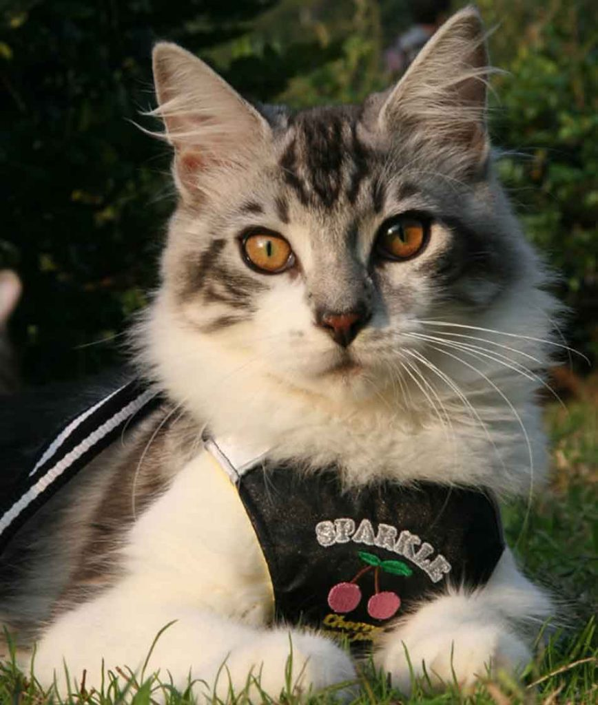 a Maine Coon with a bib