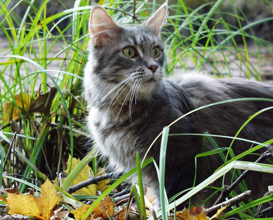 a Maine Coon in the grass with a collar