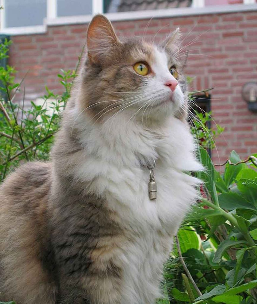 a Maine Coon with a collar