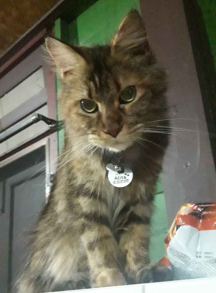 Alita the Maine Coon with a collar