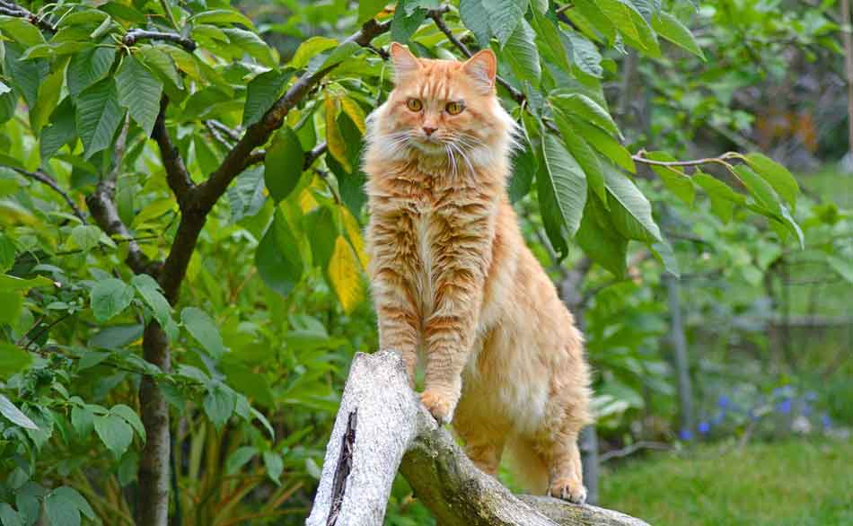 a ginger maine coon on a branch outdoors