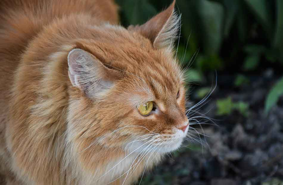 a ginger maine coon side of head