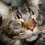 Can You Use Dog Shampoo On Your Maine Coon?