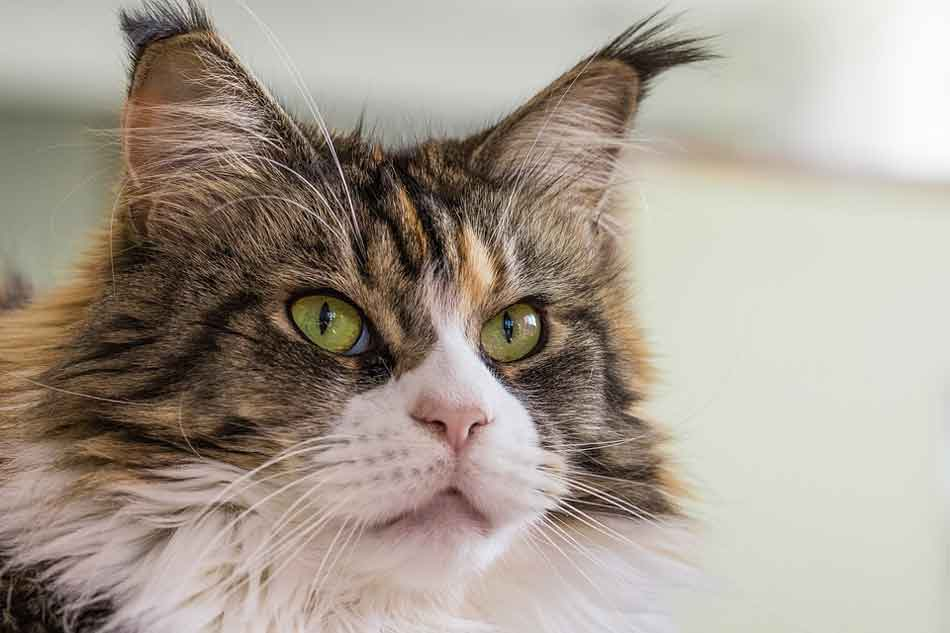 a tabby and white maine coon