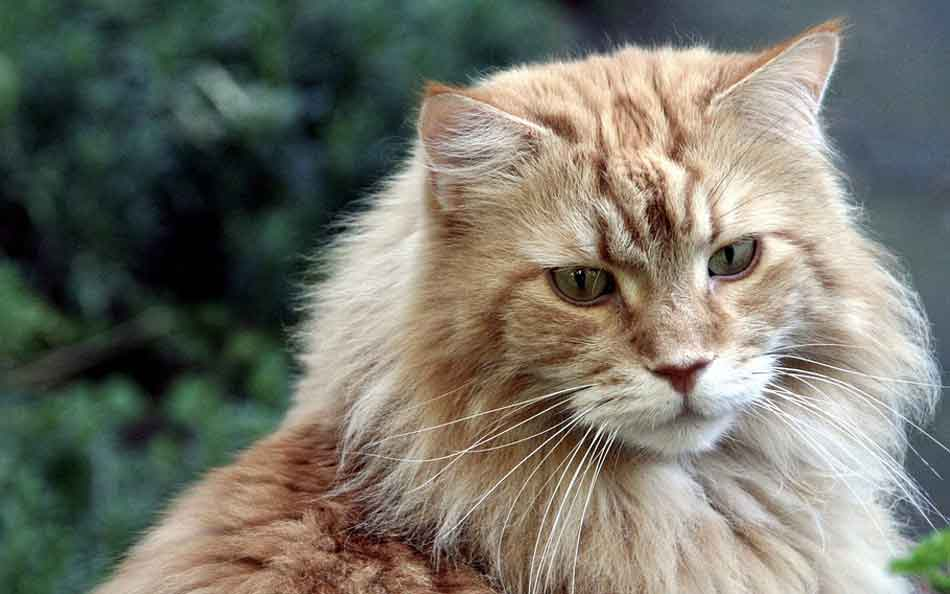 a ginger maine coon
