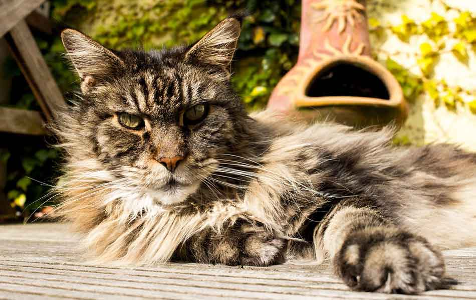 an older maine coon lying down