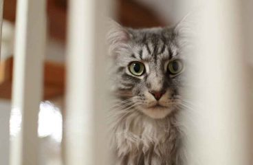 Do Maine Coons Fart?
