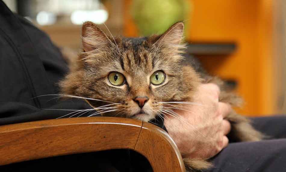 a maine coon on a lap