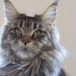 Is The Maine Coon A Good Breed For 1st Time Cat Owners?