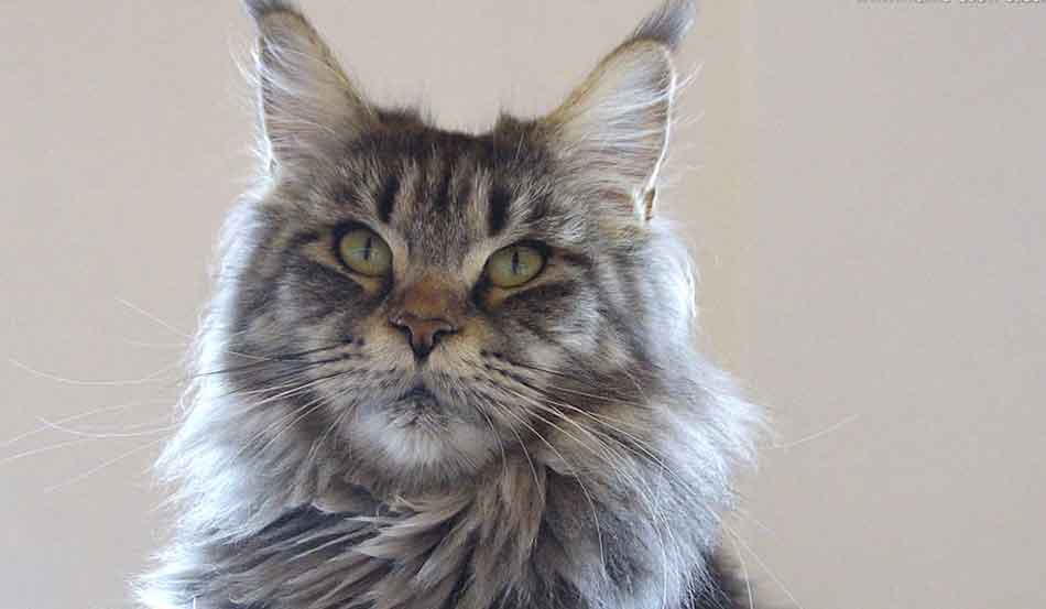 a silver maine coon face shot