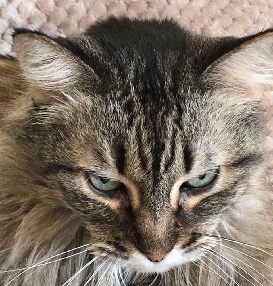 a maine coon fur close up on head