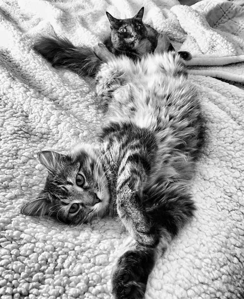 a maine coon stretching on blankets