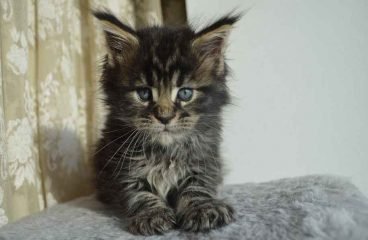 Where To Find Free Or Low Cost Maine Coon Kittens
