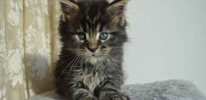 a maine coon kitten looking at the camera