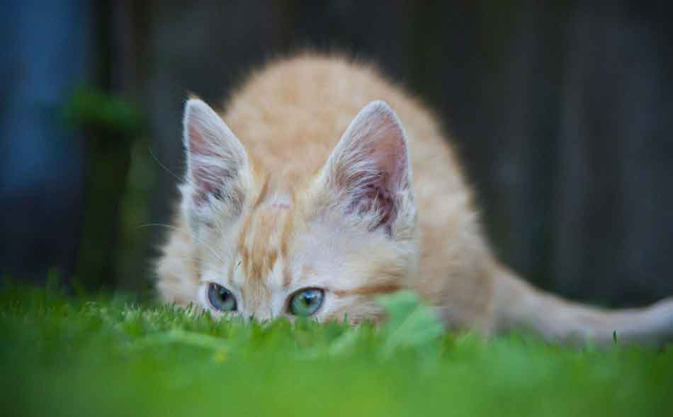 a maine coon kitten chewing grass