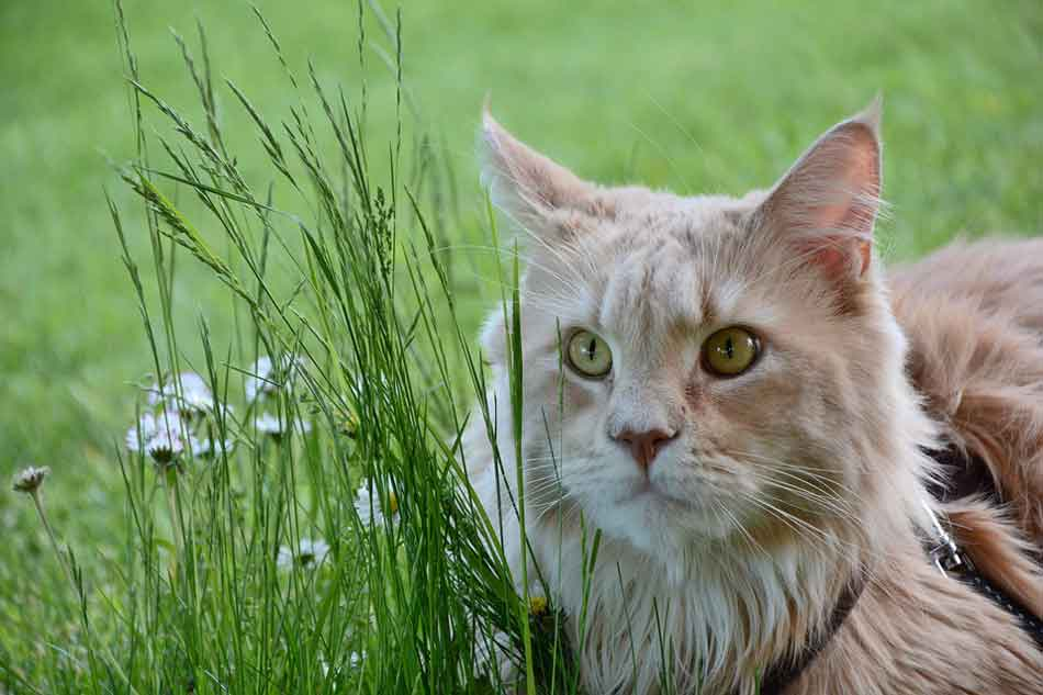 a maine coon looking at grass