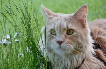 Can A Maine Coon Eat Grass? (And How It Affects Them)
