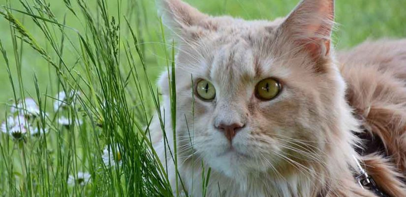 a maine coon looking at grass stalk