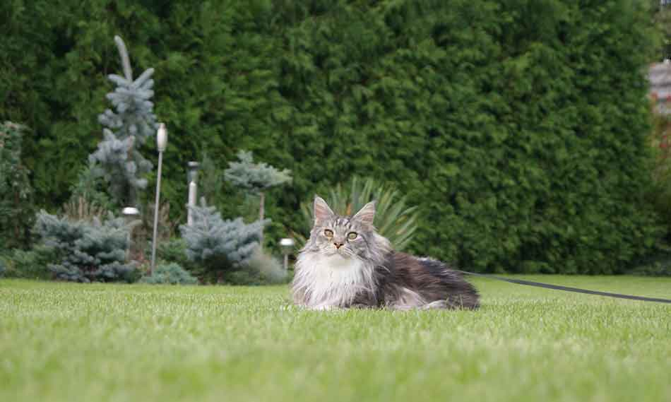 a maine coon on a lawn