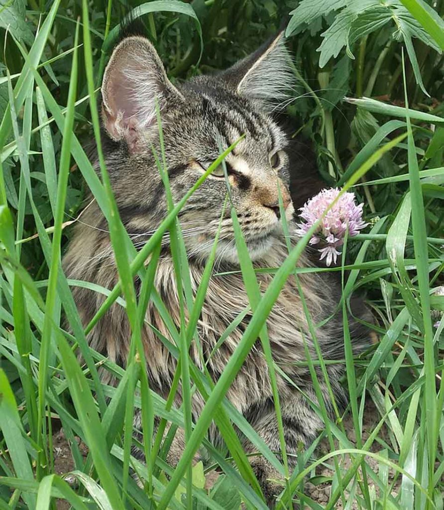 a maine coon in grass