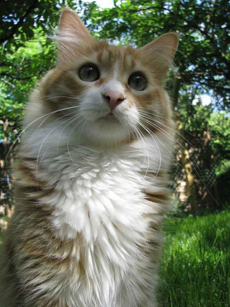 a maine coon kitten in grass