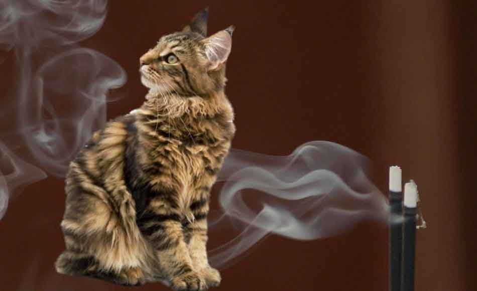 a maine coon looking at incense smoke
