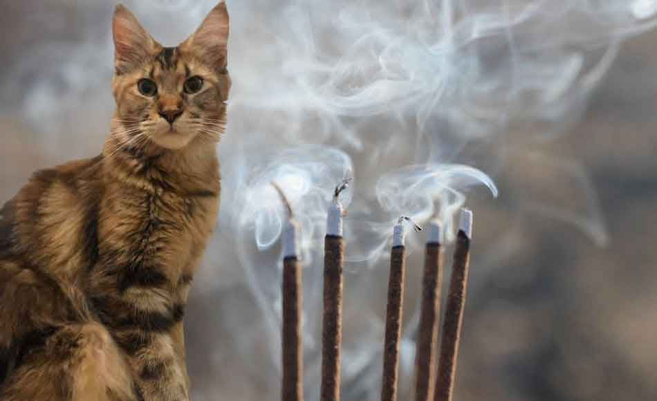 a maine coon picture with incense