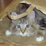 When Does A Maine Coon Kitten Become An Adult Cat?