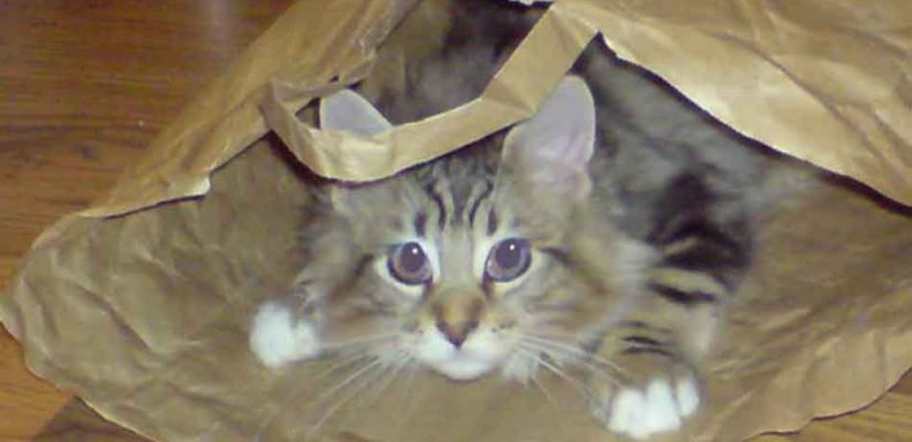 a young Maine Coon in a bag