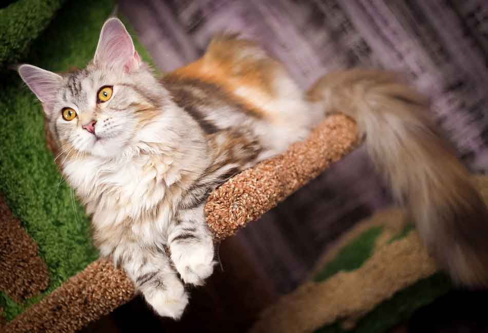 a maine coon kitten on a cat tree