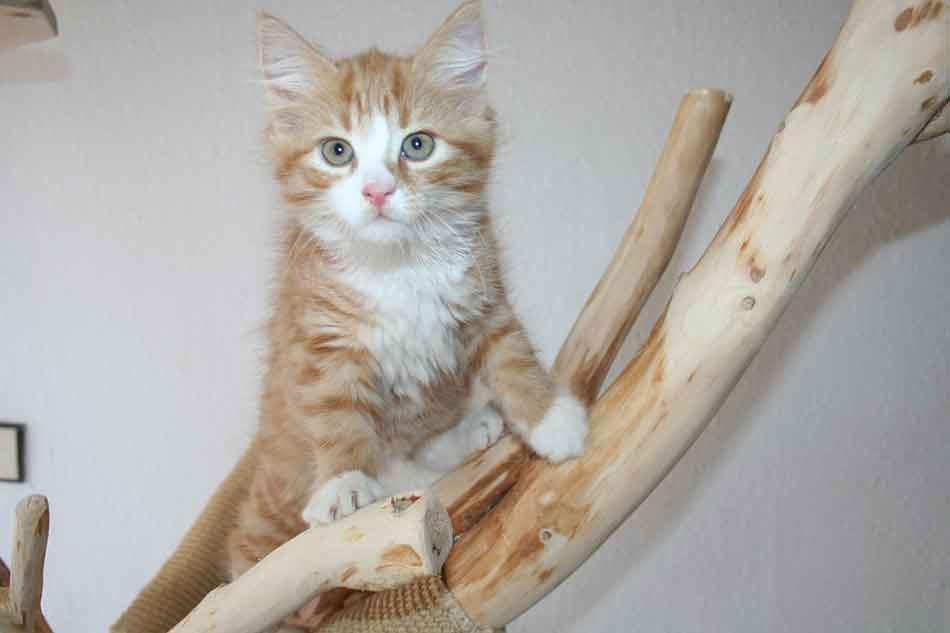 a maine coon kitten on a wooden branch